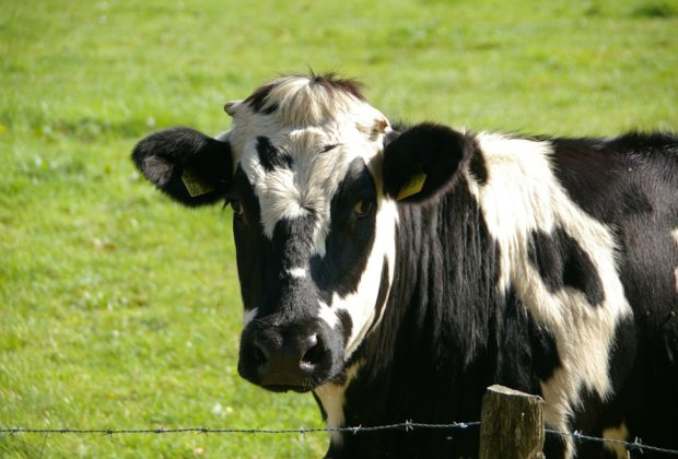 cow-234835_1280